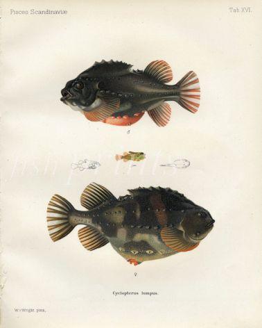 THE LUMP SUCKER or LUMP FISH print (Cyclopterus lumpus)