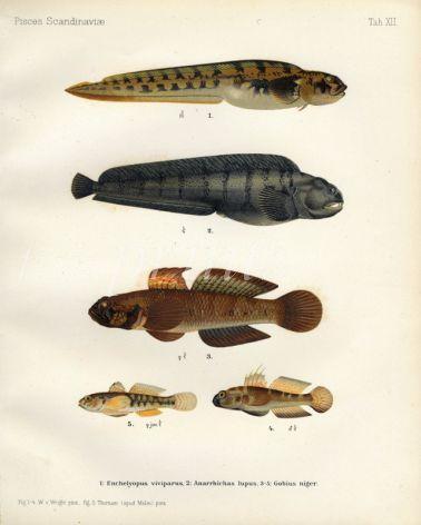 THE EELPOUT, SEACAT or WOLFFISH, BLACK GOBY print (Enchelyopus, Anarrhichas, Gobius)