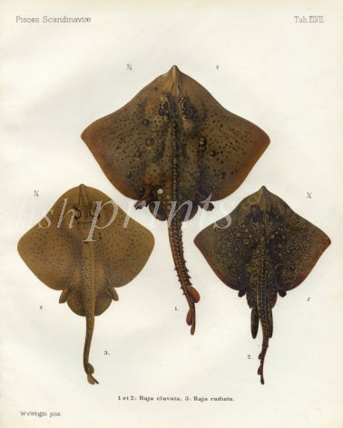 THE THORNBACK RAY  & STARRY RAY print ( Raja clavata & radiata)