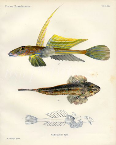 THE COMMON DRAGONET print (Callionymus lyra)
