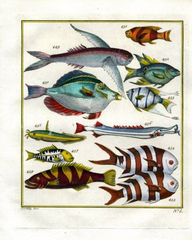 PLATE FIFTY: EXTRAORDINARY FISHES OF AMBON - FLYING FISH, WHITE-SPOTTED TANG, CHINESE TRUMPETFISH, SADDLED GROUPER, PILOT FISH print