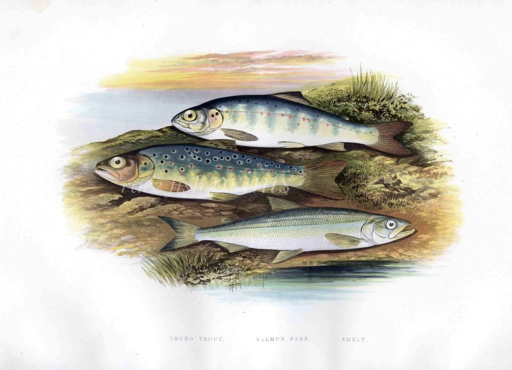 PERCH fish engraving by W Houghton 1879 British fishes fishing print art poster