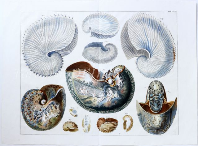 SEBA - CONCHOLOGY - THE CHAMBERED NAUTILUS & PAPER NAUTILUS 1734 - 1769