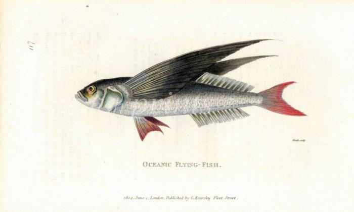 THE  OCEANIC FLYINGFISH print