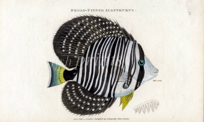 THE BROAD FINNED ACANTHURUS print