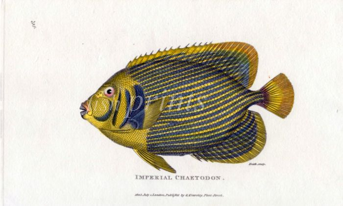 THE IMPERIAL CHAETODON or EMPEROR ANGELFISH print