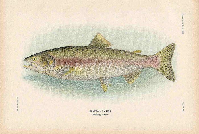 HUMPBACK SALMON print (breeding female)