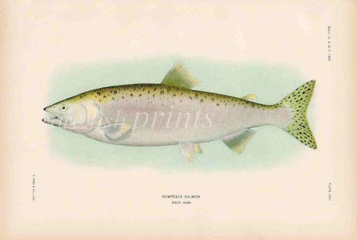 HUMPBACK SALMON print (adult male)