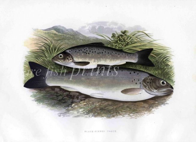 THE BLACK-FINNED TROUT print