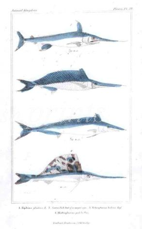 THE SWORDFISH & SAILFISH print