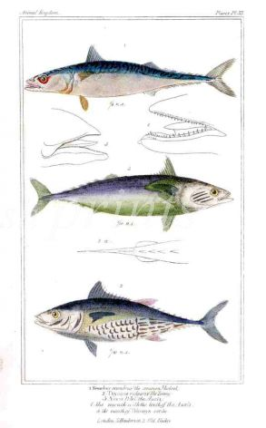 THE MACKEREL & TUNNY print