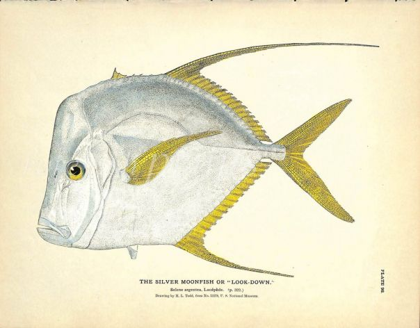 THE SILVER MOONFISH OR LOOKDOWN print