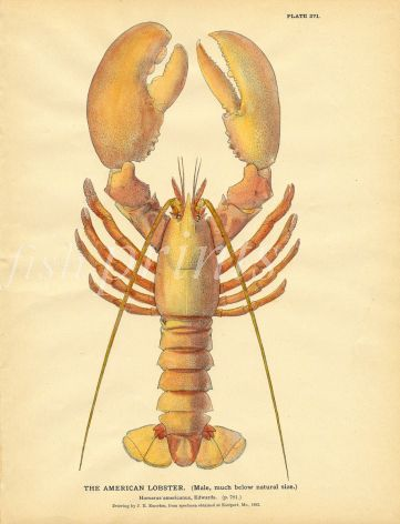 EMERTON: THE AMERICAN LOBSTER print