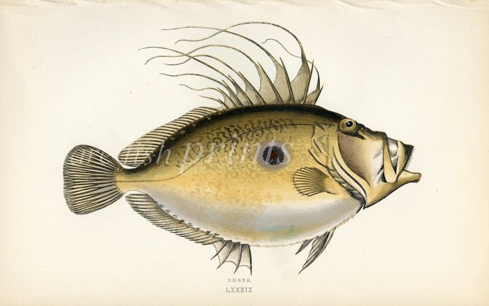 THE JOHN DORY fish print