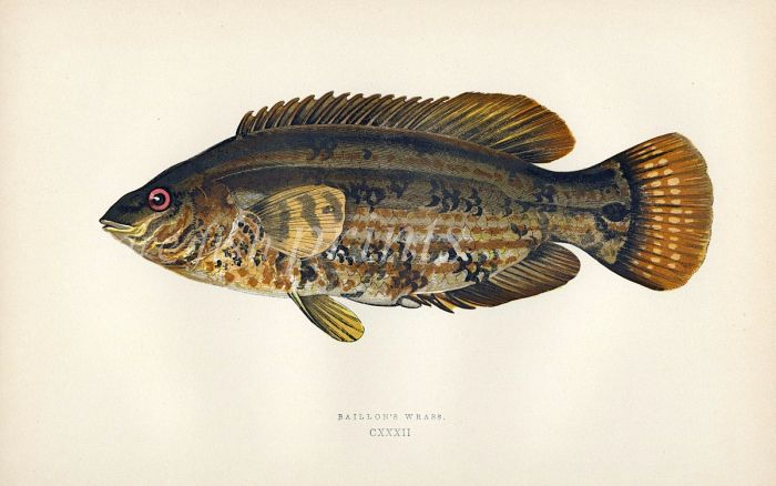 THE BAILLON'S WRASSE fish print