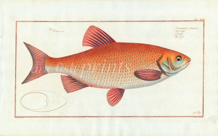 THE GOLDEN ORFE fish print ( Cyprinus Orfus)