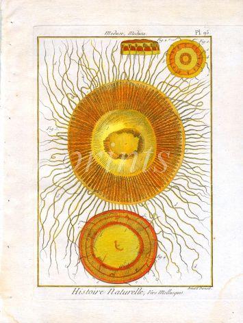 BERNARD - MEDUSA: JELLYFISH engraving