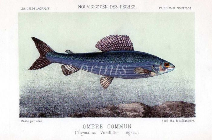 THE GRAYLING