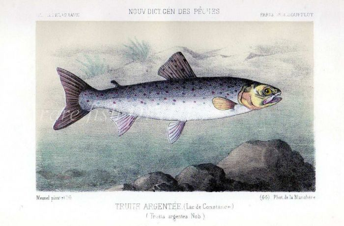 THE SEA TROUT