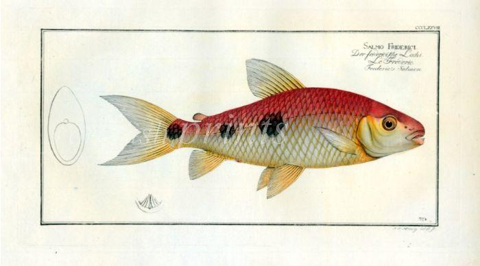 SALMO FRIDIRICI Frederic's Salmon print