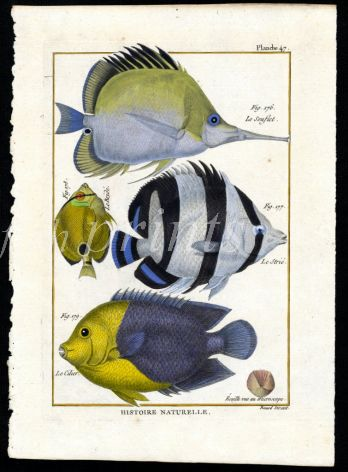 THE LONGNOSE BUTTERFLY & BARRED ANGELFISH print