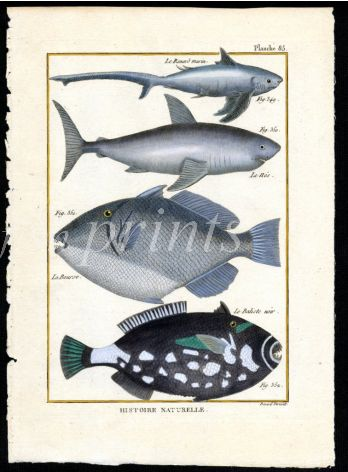 SHARK & TRIGGERFISH print