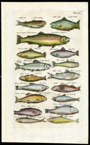 MERIAN & JONSTON - CHAR, SALMON, SEA TROUT, WHITEFISH, HERRING print