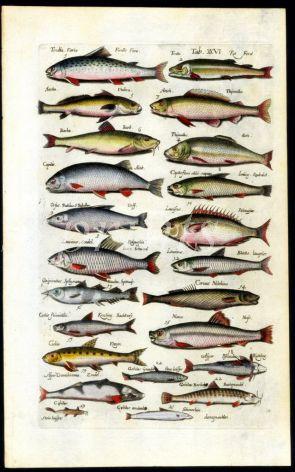 MERIAN & JONSTON - BROWN TROUT, GRAYLING, BARBEL, ORFE, NASE,  print