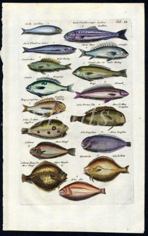 MERIAN & JONSTON - SARDINE, VARIETY OF SOLE print