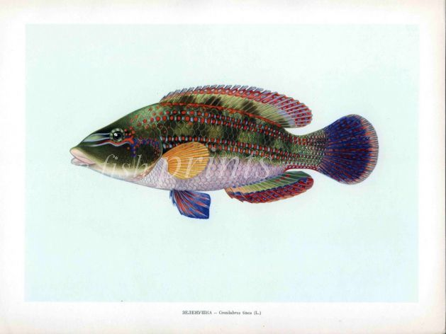 THE PEACOCK WRASSE print
