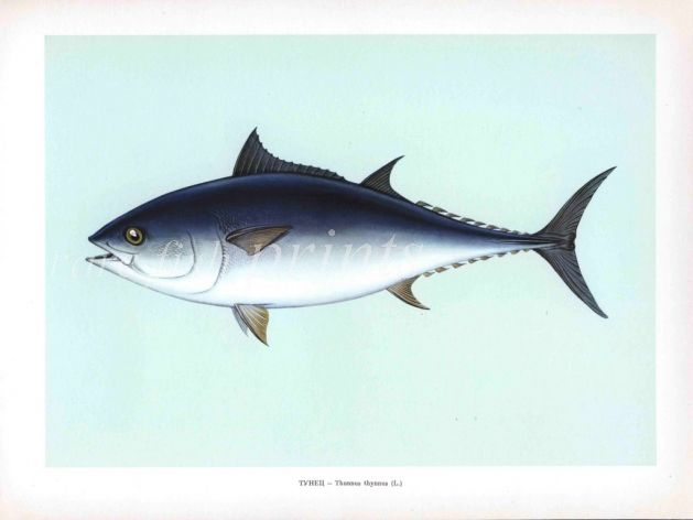 THE TUNNY OR BLUEFIN TUNA print