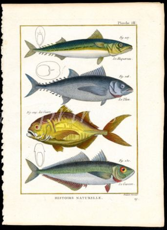 MACKEREL & BLUEFIN TUNA print