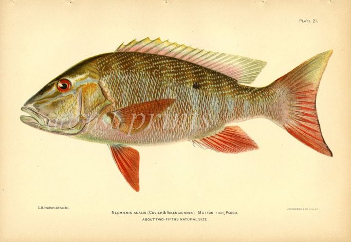 THE MUTTON SNAPPER fish print