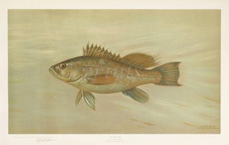 THE SEA BASS print ( Centropristis striatus)