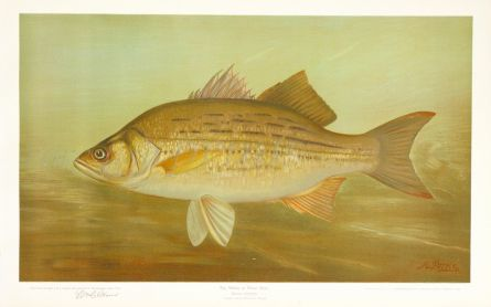 THE WHITE OR SILVER BASS print (Roccus chrysops)
