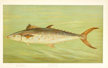 THE SPANISH MACKEREL print ( Scomberomorus maculatus)