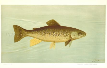 THE HYBRID TROUT print - Cross between the Lake Trout and Brook Trout.