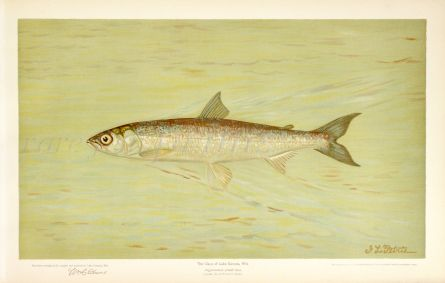 THE CISCO OF LAKE GENEVA Wis. print (Argyrosomus artedi sisco)