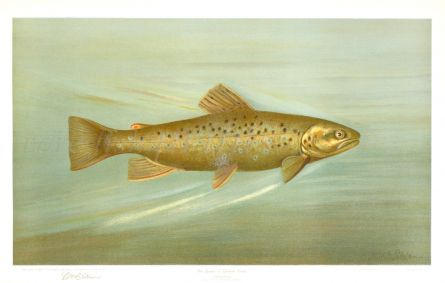 THE BROWN TROUT or GERMAN TROUT print (Salmo fario)