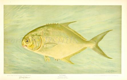 THE POMPANO or PERMIT print (Trachinotus carolinus)