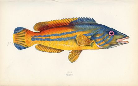 THE COOK WRASSE fish print