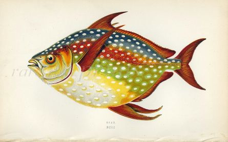 THE OPAH fish print