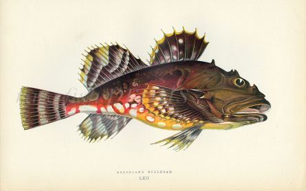 THE GREENHEAD BULLHEAD fish print