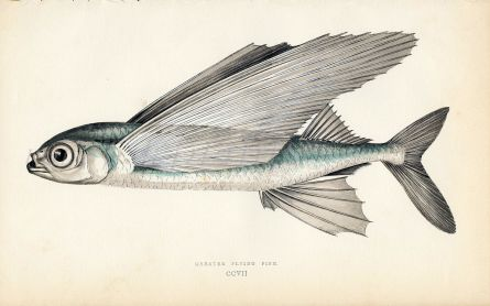 THE GREATER FLYING FISH print (Exocoetus)