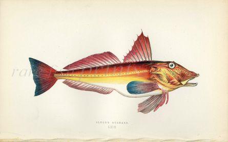 BLOCH'S GURNARD fish print