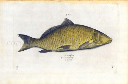 SALVIANI - THE COMMON CARP fish print (Cyprinus) 1554