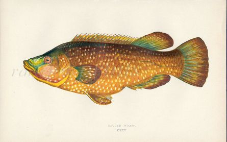 THE BALLAN WRASSE fish print