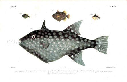 OCEAN TRIGGERFISH print - BALISTES (CANTHIDERMIS) MACULATUS