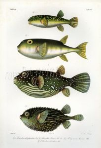 THE PUFFERFISH & PORCUPINEFISH print  (Cayracion, Tedtradon & Paradiodon)