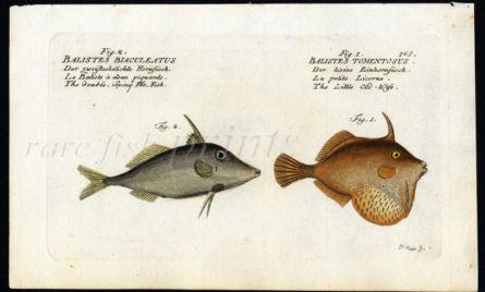 THE DOUBLE-SPINY FILEFISH & THE BRISTLETAIL FILEFISH print ( Balistes Blaculeatus & Tomentosus)